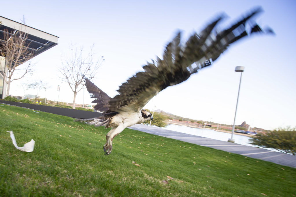 Avian Athletes Who Start Their >> Free At Last Town Lake Welcomes A New Winged Resident Wrangler News